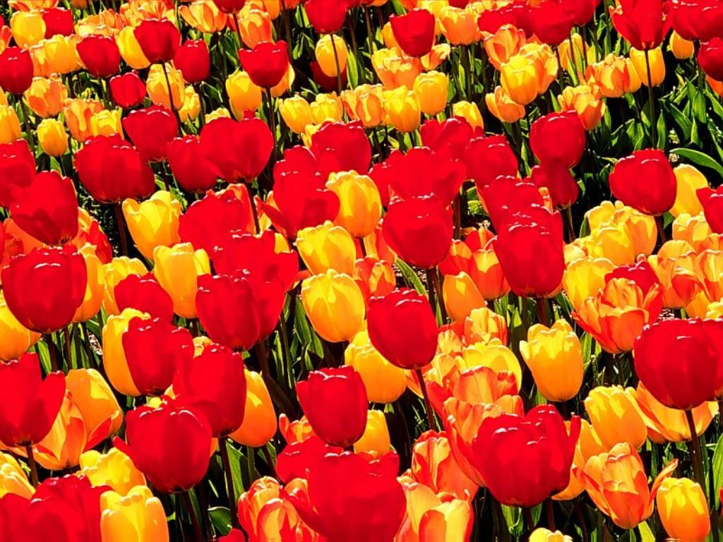 картинки желтых тюльпанов на рабочий стол
