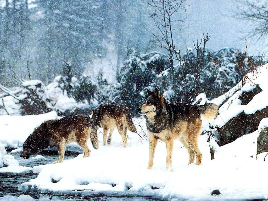 того картинка как охотится волк зимой получает сумму, которую